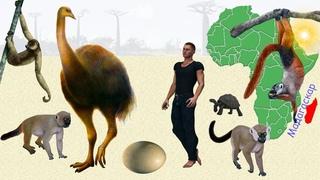 Мегафауна Мадагаскара и свидетельства раннего заселения острова людьми