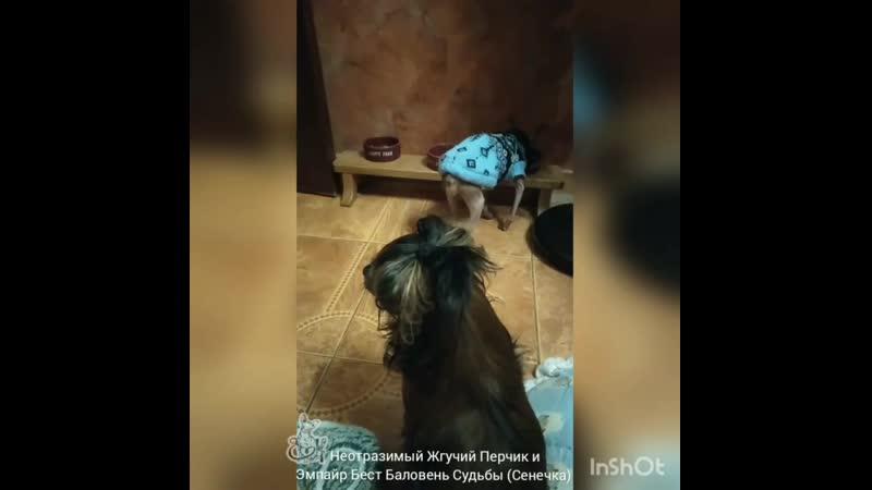 Неотразимый Жгучий Перчик и Эипайр Бест Баловень Судьбы Сенечка ноябрь 2020