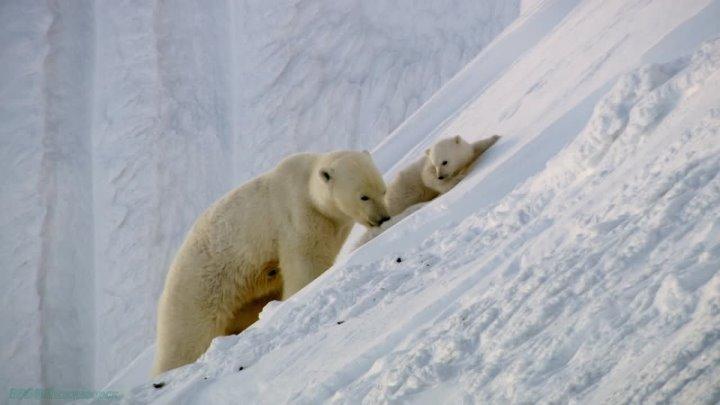 BBC Круглая планета 01 Арктика Познавательный природа животные пародия 2016