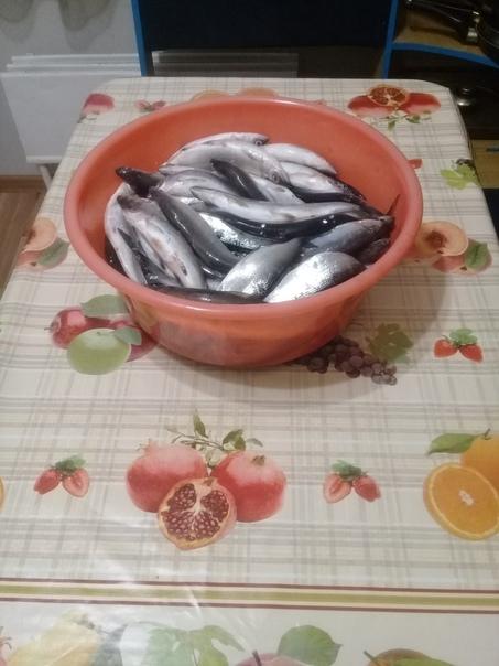 Ловля рипуса сига в челябинской области