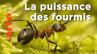 Les fourmis   Les superpouvoirs des animaux   ARTE