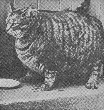 В 1950 году книга рекордов Гиннеса назвала Клауса из Сан-Франциско самым толстым котом В 8 лет он весил 18 кг (39,7 фунта) и был 91 см (35,2 дюйма) вокруг талии.Не были мы ни в каком