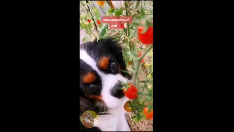 Вор помидорок