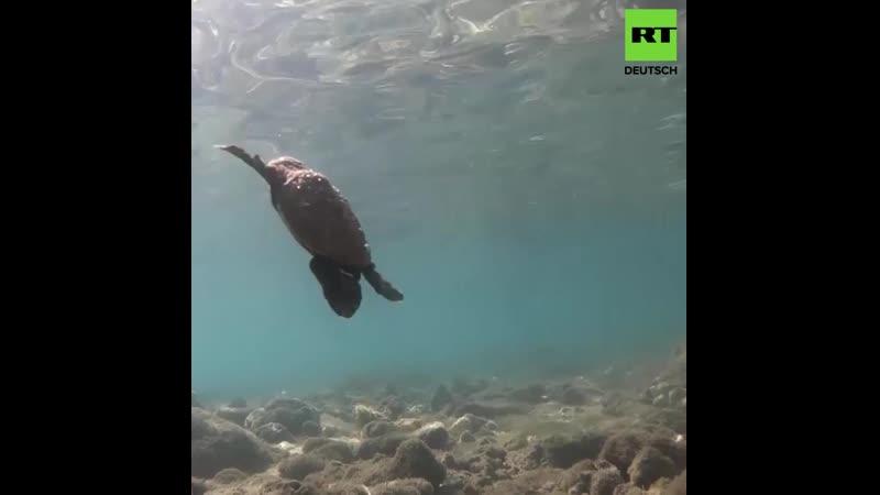 Es ist wieder Schildkröten Eier Brutzeit in Ko Samui Thailand