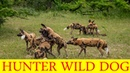 Wild dog life in the forest fight for hunt | AKB ANIMAL WORLD
