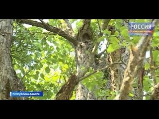 Черкесские груши могут признать памятником природы