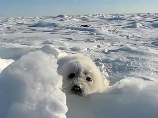 Белёк, новорожденный щенок каспийского тюленя / A Caspian seal newborn pup.