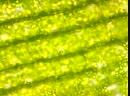 Движение цитоплазмы в листе Элодеи