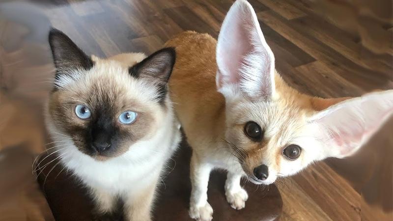 Что творит в доме лисичка фенек Домашняя лиса фенек Лисица фенек в доме с котом и собакой Звуки лисы