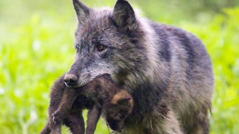 Волчица рискуя жизнью пришла за помощью к людям в надежде спасти своё дитя