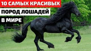 Топ 10 Самых Красивых Лошадей в Мире. Самые Красивые Породы Лошадей