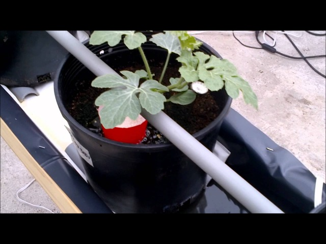 Growing Watermelon Hydroponically 1 of 3