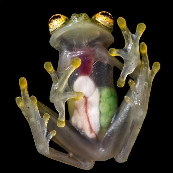 Внутренности стеклянной лягушки (Hyalinobatrachium dianae)