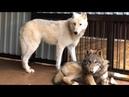 Волчонок напал на Волчицу. Волк не отдал курицу. Запустили таёжного волчонка к Арктической волчице.