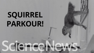 How squirrels leap from tree to tree | Science News