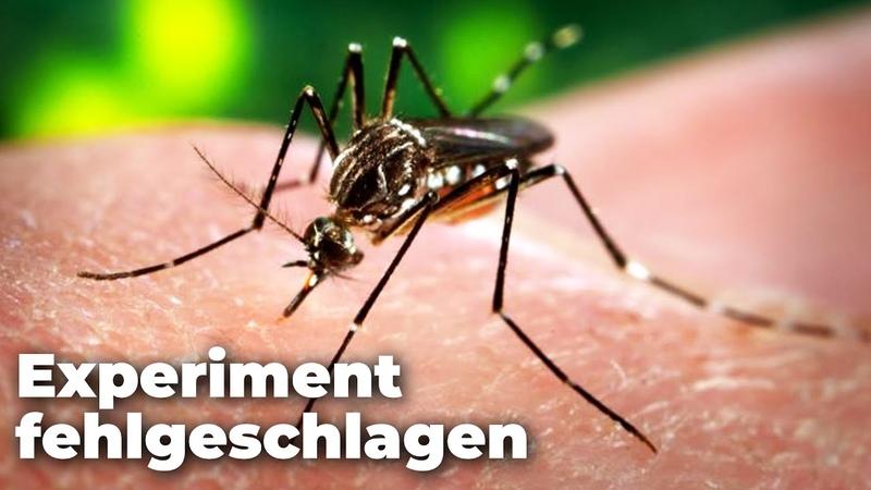"""Experiment """"fehlgeschlagen"""": Gentechnisch veränderte Mücken verbreiten sich in Brasilien!"""