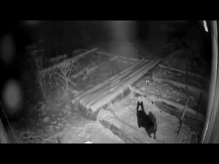 Wolf attacks Dog Brutal | Dog vs Wolf | real fight | Unseen footage |