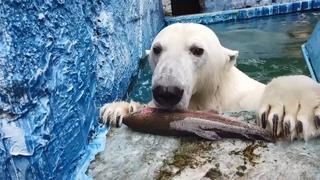 День белого медведя: как поживают мишки в красноярском зоопарке
