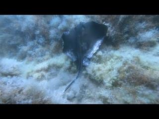Висячка горбыля. Морской кот. Подводная охота в Крыму.