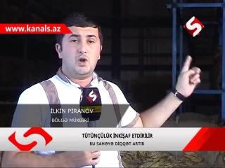 Azərbaycanda tütün məhsulunun istehsalında artım gözlənilir