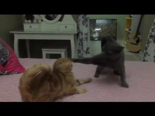 Драка котов Slow Motion