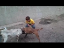 Собачьи бои гуль донг Инь Бен vs питбуль