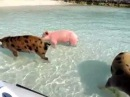 Swimming Pigs @ Staniel Cay, Bahamas