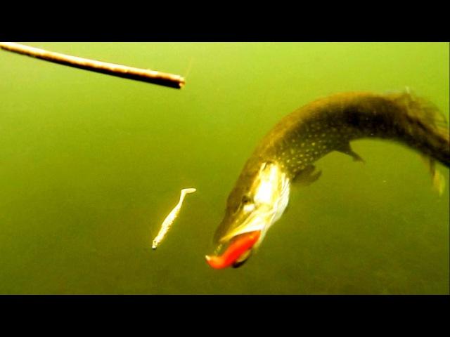 Fishing Testing Westin SHADTEEZ lure softbait for pike muskie zander underwater attack. Рыбалка щука