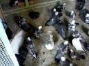 николаевские торцовые голуби 2