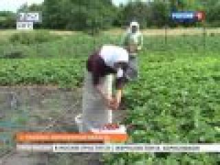 Секрет выращивания гигантской клубники