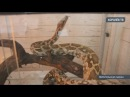 В Королёве спасатели поймали калифорнийскую королевскую змею