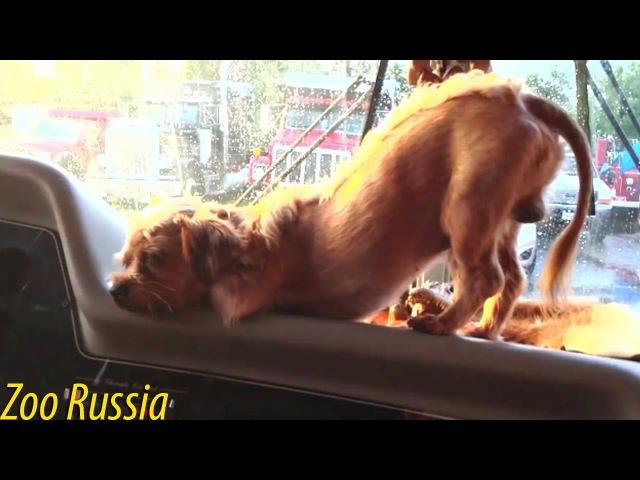 Собака уснула в машине и УГАРНО грохнулась ZooRussia