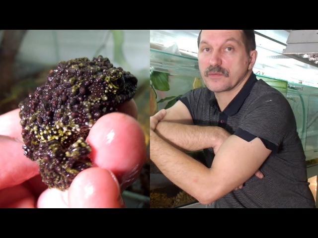 Мастера мимикрии Mossy frogs Engl subt
