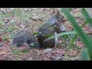 Dad Norfolk's nest: Hesper eating a mushroom 11 5 17