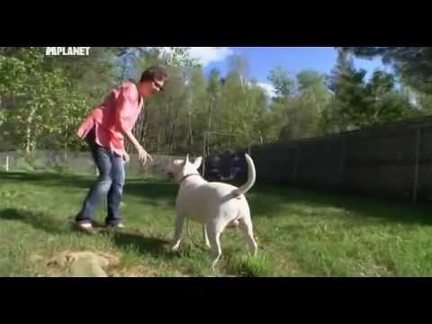 Введение в собаковедение Dogs 101 Часть 21 Бультерьер