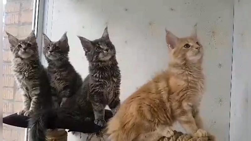 Котяточки мейн-кун