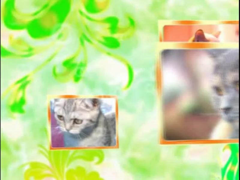 Невская маскарадная кошка - Сибирская кошка. (Кошачий алфавит).