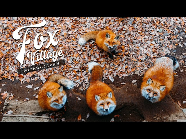 Fox Village in Japan The Fluffiest Place on Earth Miyagi Zao Shiroishi キツネ村