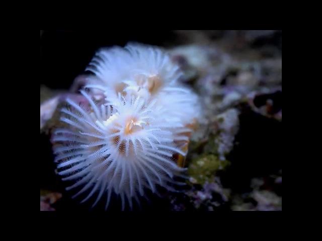 Spyro II - White Christmas - Spirobranchus Giganteus