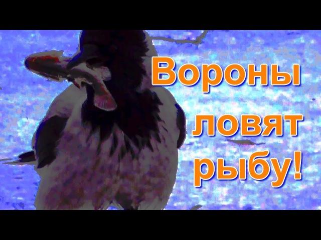 Вороны ловят рыбу! Рыбалка без крючка и удочки!