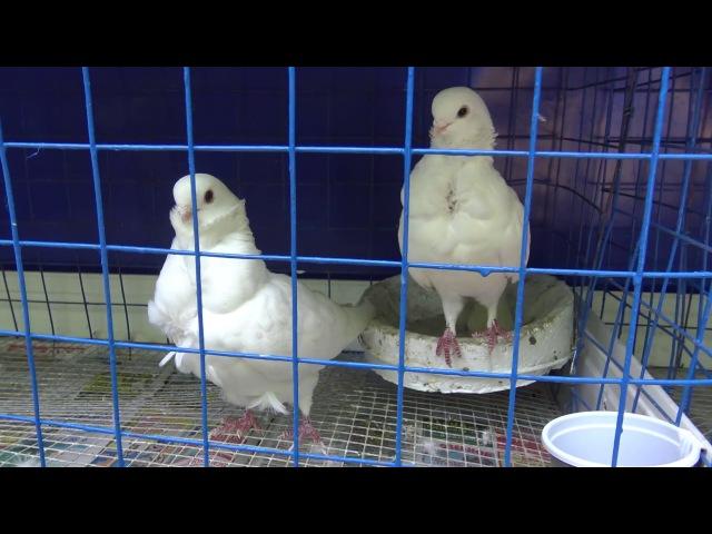 Выставка голубей в парке Луначарского, Гомель 2017 1 Exhibition of pigeons in Gomel 2017 1