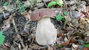 Funghi Porcini 2019 14 Giugno Boletus 蘑菇 เห็ด Mushrooms гриб Steinpilze