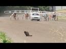 Котэ против лошадей (The Puss against horses)