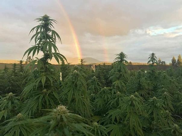 Фото марихуаны на поле польза вред курения марихуаны