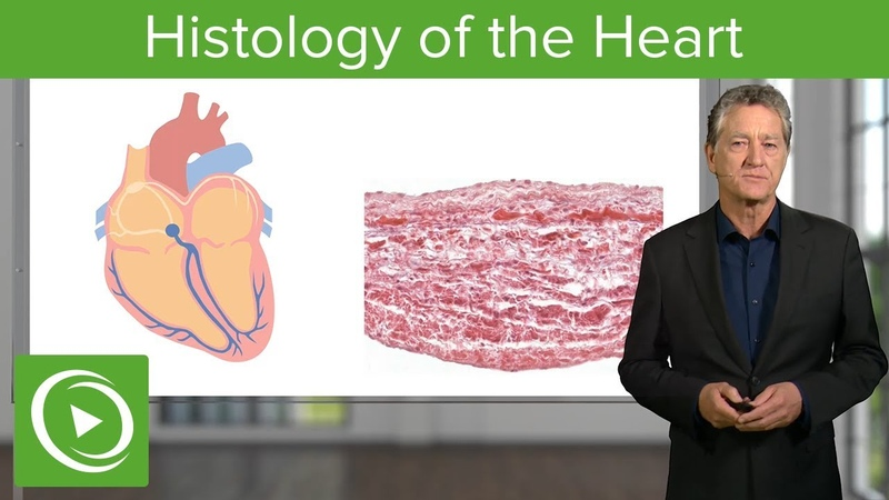 Histology of the Heart Histology Lecturio