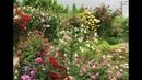 нахенглют плетистая роза, питомник роз полины козловой,