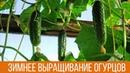Выращивание ОГУРЦОВ ЗИМОЙ Как вырастить свежие огурчики к 8 МАРТА на подоконнике ДАЧНЫЕ СОВЕТЫ
