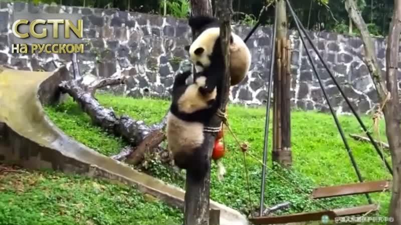 Две панды не поделили дерево