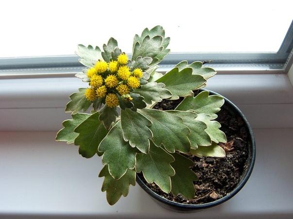 Аяния Аяния красивое многолетнее растение обладающее лекарственными свойствами Аяния низкорослое полукустарниковое растение из семейства Астровых. Листья разного размера в зависимости от сорта.
