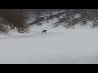 Встреча с волком на рыбалке